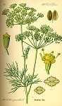 Dill Weed (Europe)