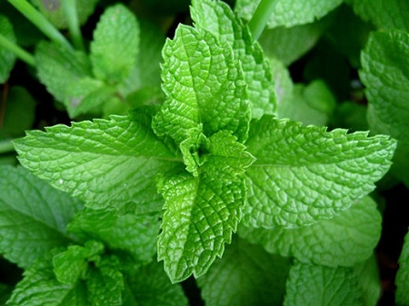 Spearmint (USA- Oregon)