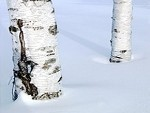 Birch, Sweet (Russia)