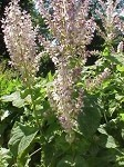 Clary Sage (France)