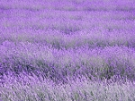 Lavender Bulgaria 30 ml. ( 1 oz )