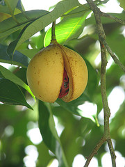 Nutmeg (Indonesia)
