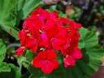 Geranium essential oil 1/2 oz