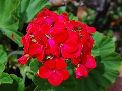 Geranium essential oil 1 oz