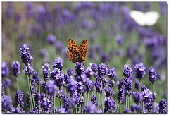 Lavender 40/42 Essential Oil (8 oz)