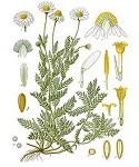 Chamomile-Roman 5 ml. ( 1/6 oz )