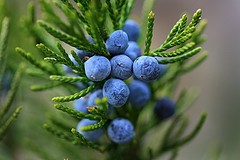 Juniper Berry 30 ml. ( 1 oz )